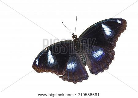 Dorsal view of male great eggfly butterfly ( Hypolimnas bolina Linnaeus ) isolated on white with clipping path
