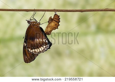 Isolated Tansformatiob Of Great Female Eggfly Butterfly ( Hypolimnas Bolina Linnaeus ) Emerged From