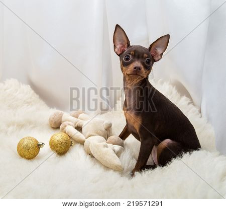 New Year Toy Toy Terrier on a White Background with New Year Toys