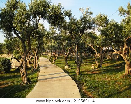 A road leading through the old olive grove along the Adriatic coast on the island of Cres at the beautiful sunse