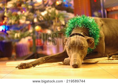 Christmas Greyhound dog with green tinsel lying in front of Christmas Tree