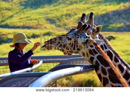 December 18, 2017 in Palm Desert, CA:  Giraffe being fed carrots by a Zookeeper taken at the Living Desert Zoo in Palm Desert, CA where people can see these exotic animals close and upfront at this large Giraffe roaming area