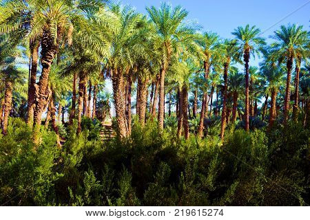 Palm Tree Desert Oasis with Date Palms and chaparral shrubs
