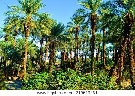 Lush green desert oasis garden with Date Palm Trees and chaparral shrubs