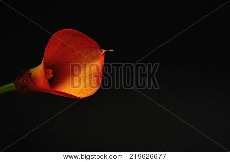 A single Arum lilly isolated on a black background