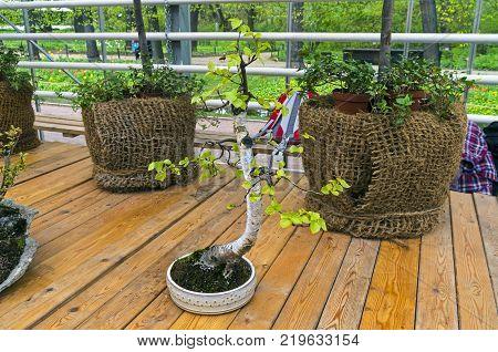 Silver birch (Betula pendula) - Bonsai in the style of