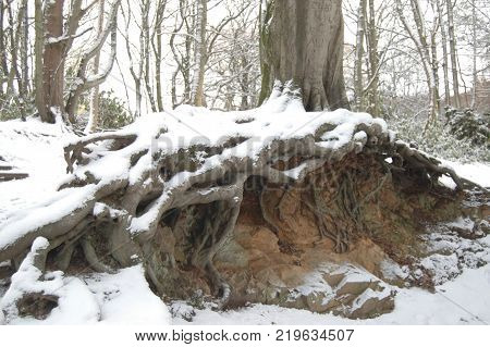 Exposed Roots after a heavy snowfall in Aden Country park, Aberdeenshire