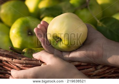 Apple harvest. Ripe green apples in the basket on the green grass.Child Hand Hold Red Apple Top View And Close Up. Seasonal Harvesting Ripe Apple.
