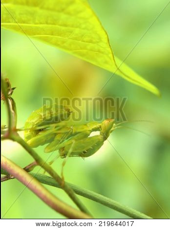 Green mantis. Mantis on green leaf on white background. Green mantis hunt. Carnivorous insect. Mantodea Religiosa and victim. Exotic nature wildlife