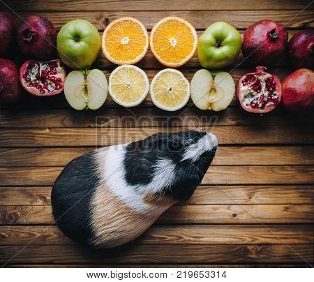 Guinea Pig wants to try juicy fruit. Apples oranges lemons grenades. Wooden background. Feeding guinea pigs.