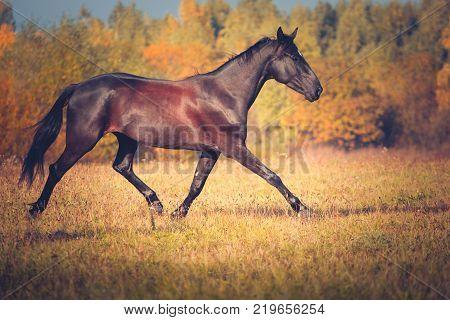 Black horse Orlov trotter breed trotting on the autumn nature background