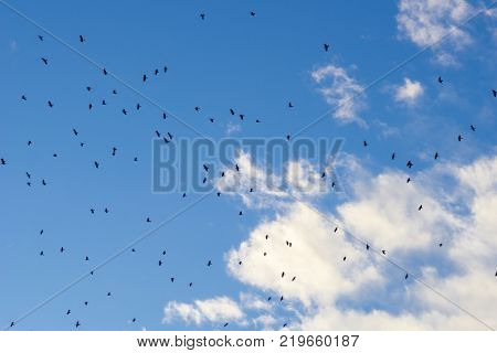 View to a Flock of Birds in front of a blue Sky. Clsoe-up of flying black Crows on a blue Sky. Clouds and Sky. Animals and Nature Background.
