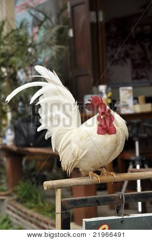 Bantam Chicken Bar Hold Single White