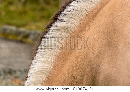 Norwegian Fjord horse in Norway has very distinctive Dun color and black and white mane with dorsal stripe