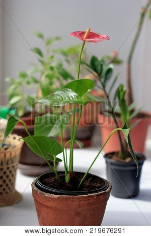 Anthurium plat in a flower pot on window sill.