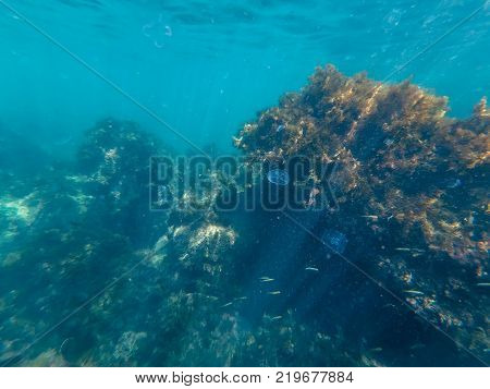 coral reef and Atoll seaweed overgrown with sea life with jellyfish and fishes in blue water