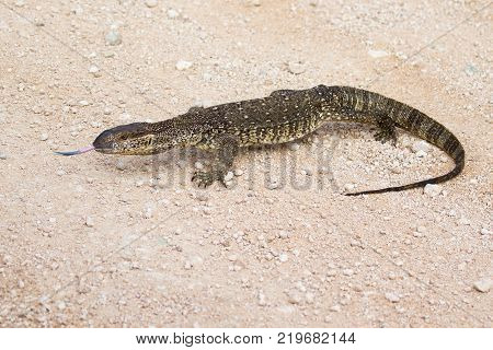 South African rock monitor sensing the environment with his forked tongue