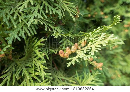 Close shot of branch of Thuja occidentalis