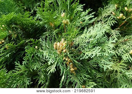 Fan like branches of Thuja occidentalis with cones