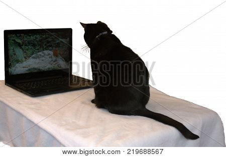 Black cat intently stares watching the bird video.