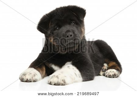 American Akita Lying Down On White Background. Baby Animal Theme