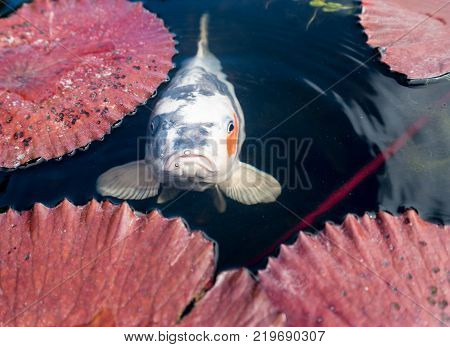 Unhappy or glum japanese koi fish in portrait in lily pond