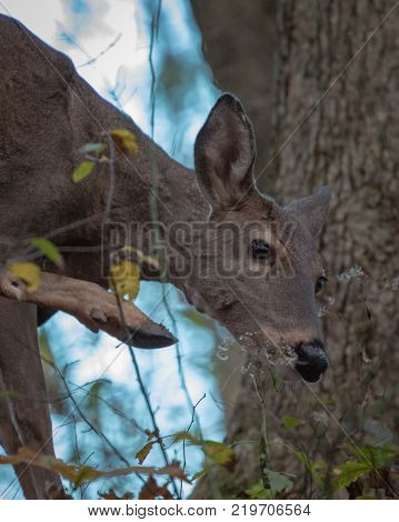 Whitetail doe deer up close in forest scratching face