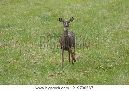 Whitetail doe deer in green grass stomping back foot