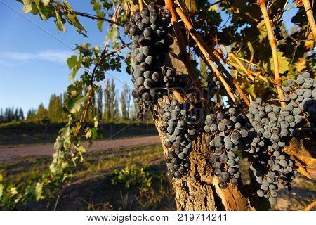 Malbec grape plantation in the city of San Rafael, Mendoza, Argentina.