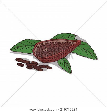 Isolated clipart of plant Cocoa on white background. Botanical drawing of herb Theobroma cacao with beans and leaves, pods