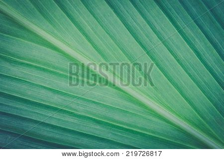 Turmeric leaf texture or turmeric leaf background for design. Turmeric leaf surface. Green turmeric leaf texture.
