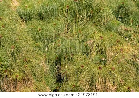 Close up of a green papyrus plant in the Ortigia island (Fonte Aretusa) - old town of Syracuse Sicily Italy