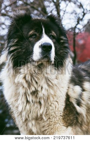 Fluffy Caucasian shepherd dog in the yard.Adult Caucasian Shepherd dog