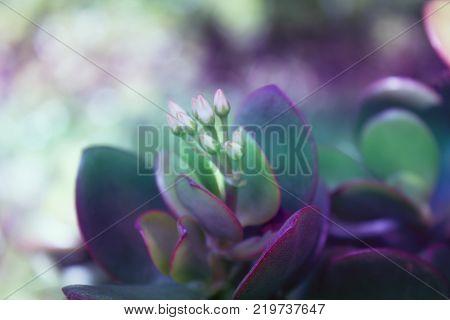 Crassula ovata (Jade PlantMoney Plant) succulent plant close up.Floral background.