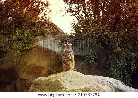 Meerkat (Suricata suricatta) also known as the suricate.Meerkat sitting on a rock. Meerkat animals. in the zoo
