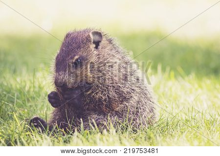 Young Groundhog (Marmota Monax) sitting in green grass holding tail between legs