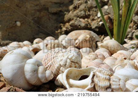 Whelk Shells On Beach