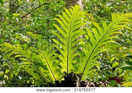 Big green Oakleaf fern, basket fern growing on tree at Fraser's Hill, Malaysia, South east Asia (Drynaria quercifolia)