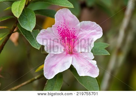 Beautiful pink George Taber Azalea flower in garden at Fraser's Hill, Malaysia, South east Asia (Rhododendron x George Taber)