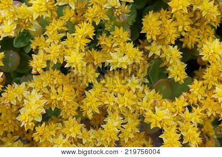 Sedum (probably Sedum acre), known as biting stonecrop in full bloom with yellow flowers. Some leaves just visible between the flowers.