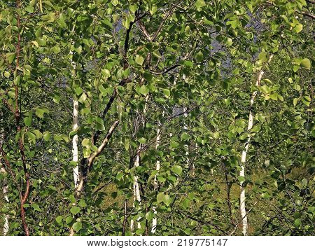 Birch with green leaves in summer. Thicket birches
