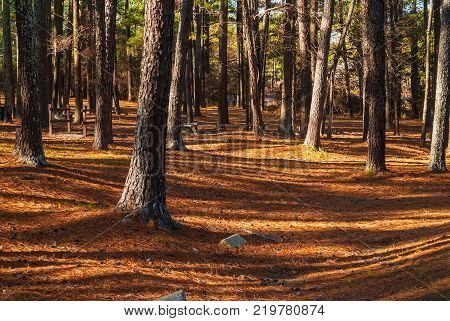 Landscape with pine trees and long shadows of Studdard Picnic Area in the Stone Mountain Park in sunny autumn day Georgia USA