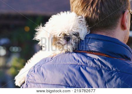 Bichon Frize Dog Close Up Portrait