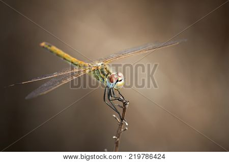 A dragonfly resting on a twig with it's wings spread wide