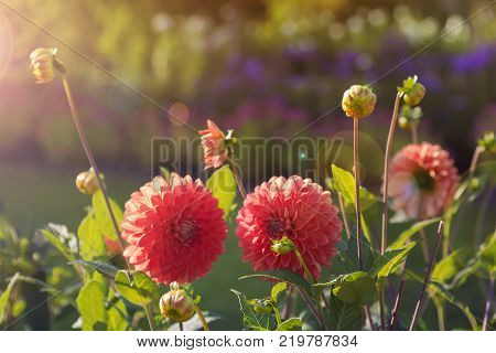 Beautiful blooming red dahlia flowers at sunset.