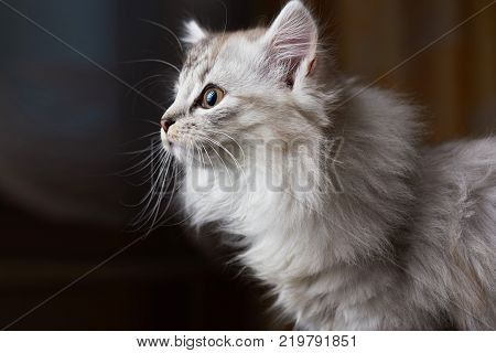 Curious cat looking on side. Profile of gray kitty