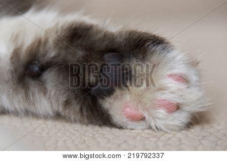 Macro of grey cat palm paw. Fluffy kitty paw