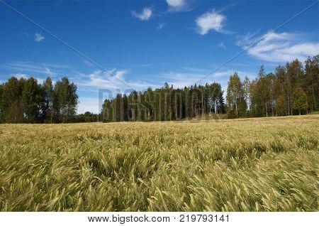 Field corn rye, blue sky in Sweden in September