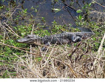 Gator Smilin