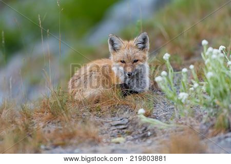 Young Red Cascades Fox Centered and Looking Toward Camera in dry field